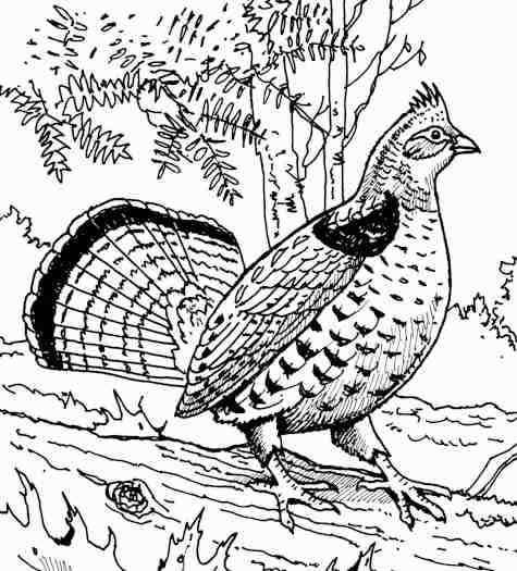 Bird Coloring Pages Free Printable